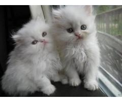 Lovely Gorgeous GCCF Registered Pedigree Persian's