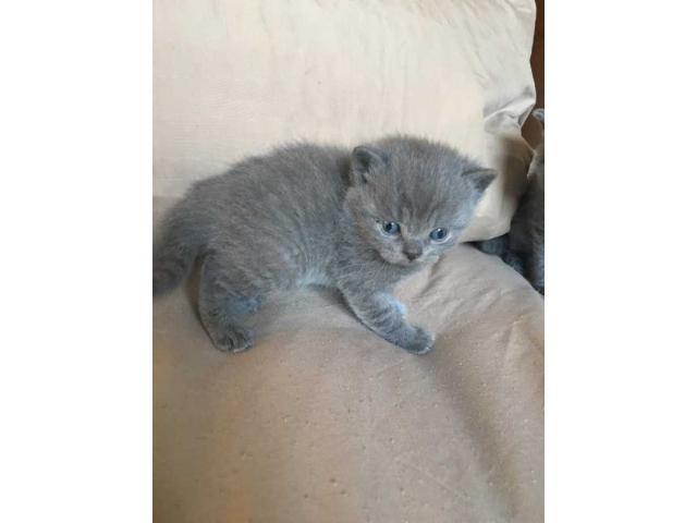 gorgeous sottish fold kittens