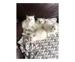Pedigree Birmans Kittens text (402) 295-5050