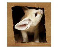 Nice Fennec Fox 2 females/boy Available