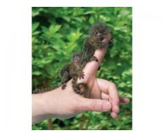 Outstanding Pygmy Marmoset rehoming to good homes