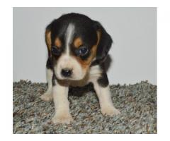 kc male and female Stunning Beagle Puppies For sale